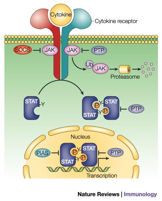 JAK-Stat Pathway, Source Nature Reviews, Immunology