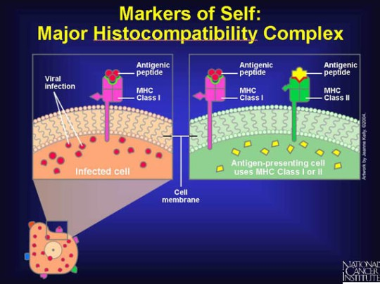 Major histocompatiblity Comples NCI