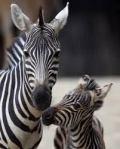Zebra and Zebrette