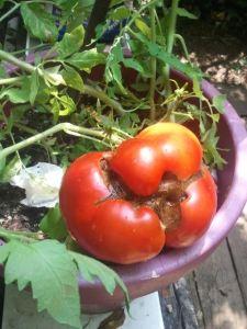Tomato epigenetic