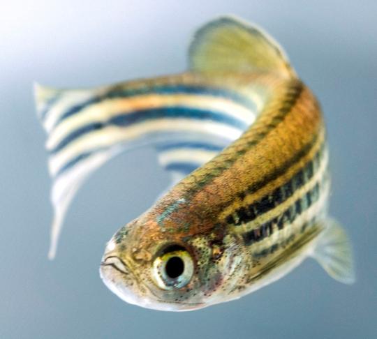 zebrafish3